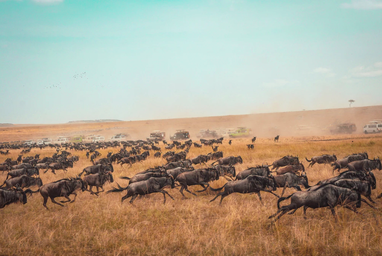 Wildebeest migrating across african plain