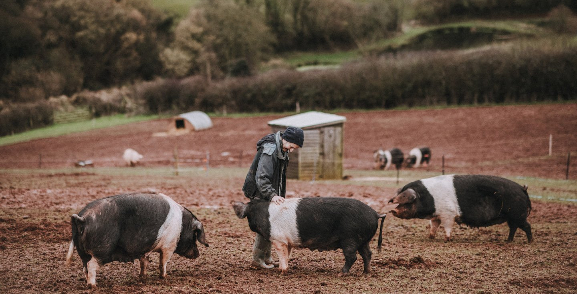 Three pigs and a farmer at Pipers Farm.